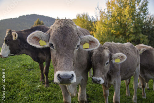 Kuhe Allgau Herbst Niedlich Lustig Stock Photo And Royalty