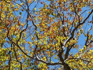 Ramas y hojas doradas en otoño y fondo de cielo azul. Bosque del valle del Tena, Aragón. Pirineos