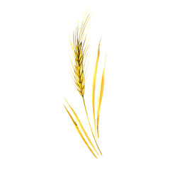 Watercolor spikelets of rye product illustration. Painted isolated natural food on white background