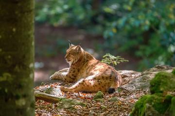 Luchs (Lynx lynx) im Nationalpark Bayerischer Wald
