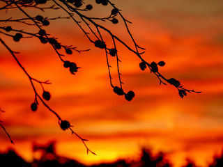Image of silhouettes of beechnuts during sunset