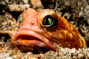 solor jawfish buried in sand looking for prey