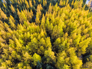 larch forest in fall