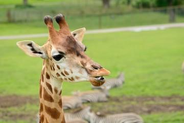 Head shot of a Rothschild's giraffe (giraffa camelopardalis rothschildi)