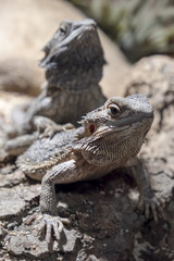 Close Up Shot Of Bearded Dragons