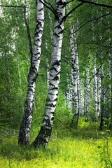 Poster de jardin Bosquet de bouleaux White birch trees with beautiful birch bark in a birch grove. Vertical view.