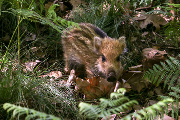 Wild boar piglet in the forest