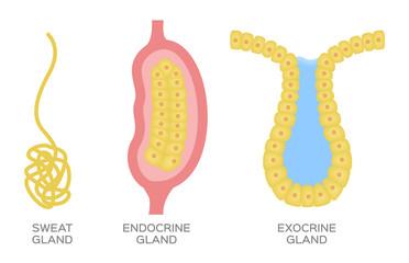 Epithelial gland / endocrine , exocrine and sweat gland vector