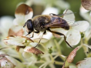 Makroaufnahme einer braunen Fliege auf einer Hortensie (Hydrangea)