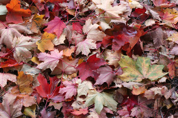 Maple leaves on the ground, different colors, autumn background