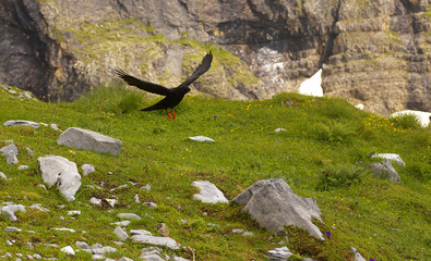 Landing alpine chough with a mountain landscape on bacground