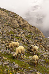 Group of grazing sheep in the mountain stony landscape