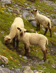 Group of grazing sheep on the mountain stony meadow
