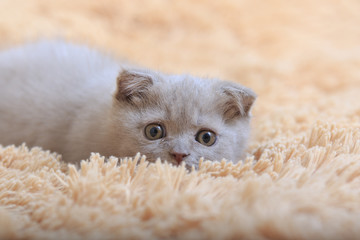 Gray kitten of a British Fold crouches hunting in a covering close-up