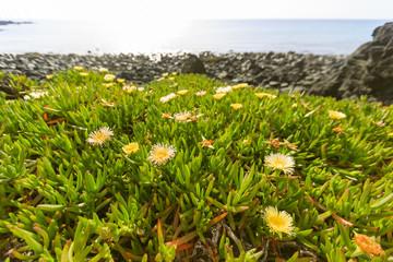 Flowers on a beach on Jeju Island in South Korea