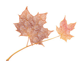 Orange maple leaves isolated on white background. Detailed vector illustration of hand drawn autumn leaves. Vintage retro fall seasonal decor.