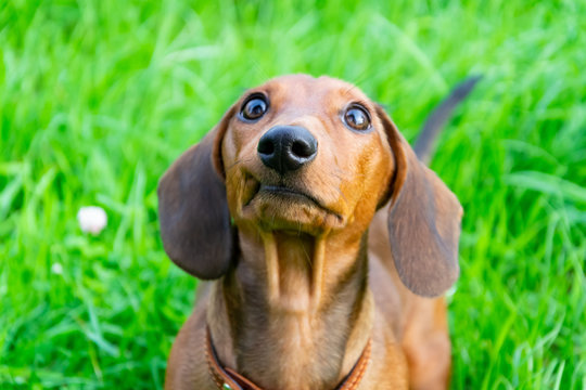 Miniature dachshund puppy with its owner. A young energetic dog is running around for a walk. Execution of commands in a game form
