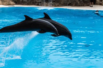 Photo sur Aluminium Dauphins Delfine in der Show