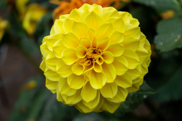 Yellow dahlia flower in a garden close up