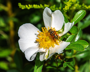 Syrphid fly on a wild rose!
