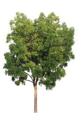 Isolated mahogany tree on white background