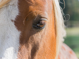 Huge eyes of a beautiful bay horse.