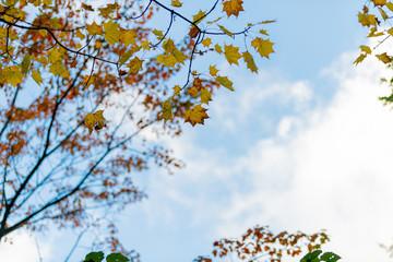 メイプルの紅葉 maple leaves