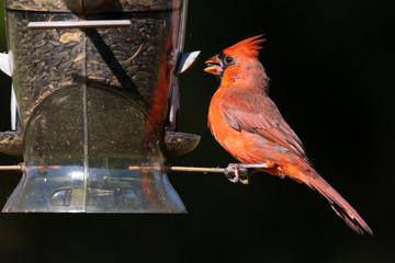 Male northern cardinal (Cardinalis cardinalis) eating from a backyard bird feeder.