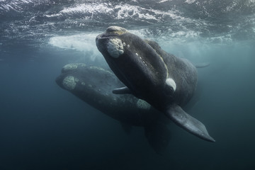 Southern right whale and her calf,  Nuevo Gulf,  Valdes Peninsula, Argentina. Wall mural