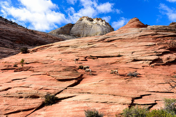 Heard of Desert Bighorn Sheep with the view of mountain in Zion National Park Utah USA