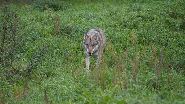 wolf walking on grass