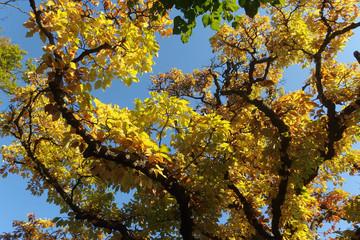 Fototapeta Jesień - gałęzie żółtymi liśćmi na tle błękitnego nieba