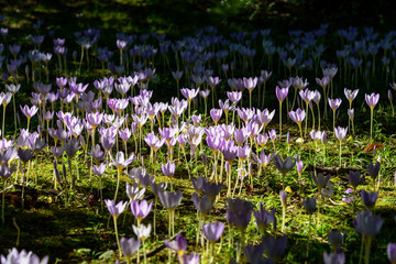 Crocus flowers blooming in the morning light in spring
