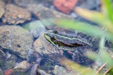 Lake frog in water