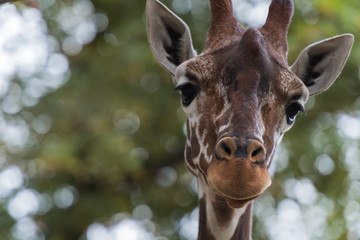 Kopf einer Giraffe, frontal