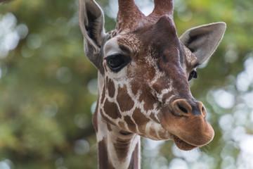 Kopf einer Giraffe mit Blick nach rechts