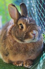 Portrait of Domesticated Rabbit