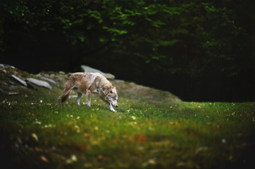 Canadian Timber Wolf in motion. The Wolf walking and sniffing on meadow with dark forest on backround.