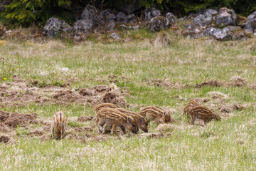 Flock with Wild boar piglets on a grass meadow at spring