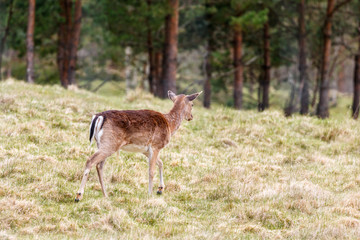 Fallow deer walking away into the forest