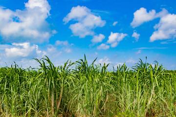 沖縄石垣島 サトウキビ畑と青空
