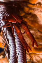 dark red baba's crinoid squat lobster