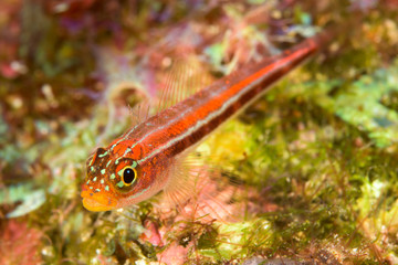 striped triplefin fish