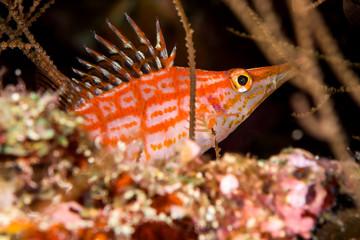 longnose hawkfish fish
