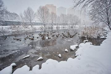 Wild ducks on snow in winter on river ice.