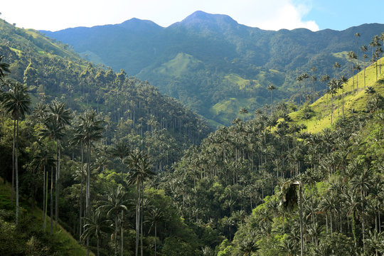 Cocora valley an enchanting landscape towered over by the famous giant wax palms. Salento, Colombia