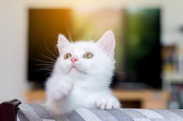 Cat Scottish white fluffy cute little animal,Selective focus