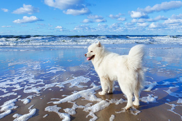 White fluffy Samoyed dog walks along the beach on the background of the stormy sea.