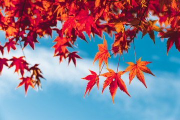 Colorful orange fall maple leaves against blue sky