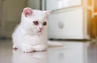 Cat Scottish fold white color fluffy cute little animal,Close up